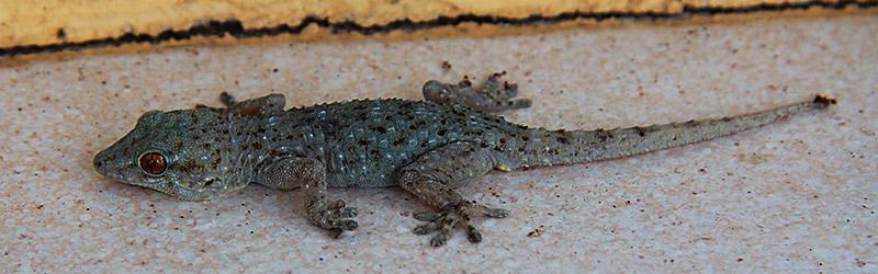 Ein Gecko