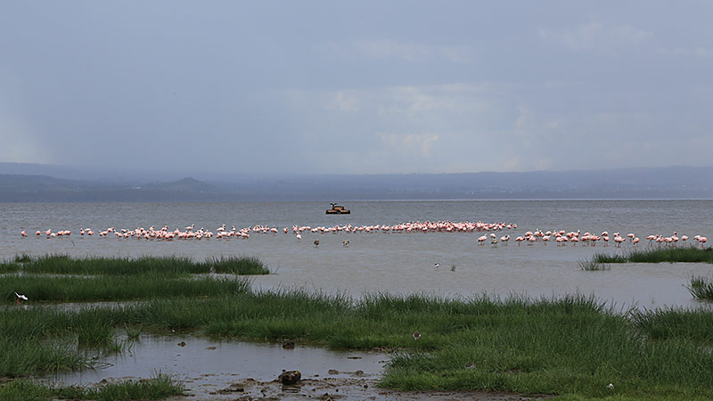 Flamingos am Lake Nakuru, Kenia