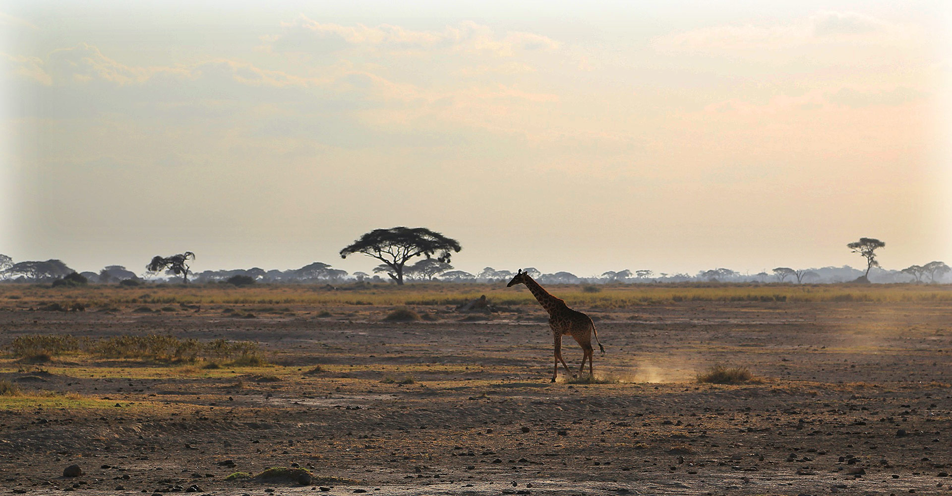 Giraffe in Kenia, Amboseli Nationalpark