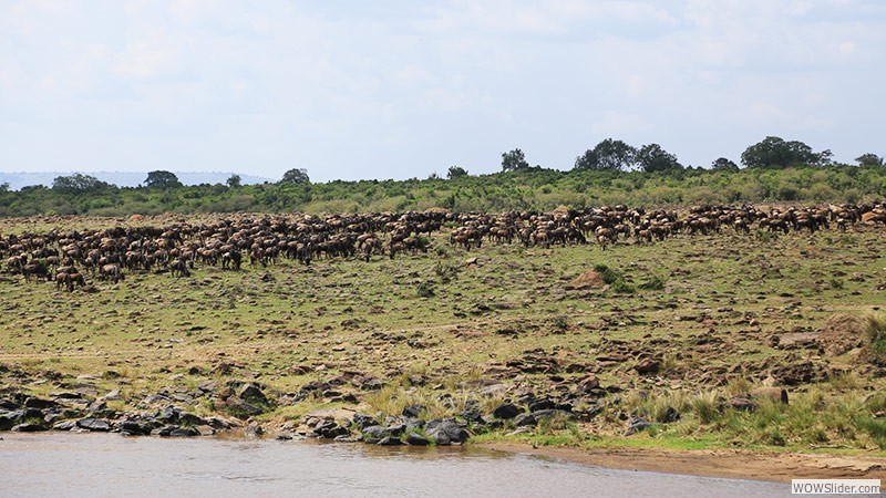The Migration of the Gnus